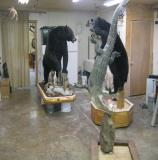 images/north_american_big_game/17taxidermy_01.jpg