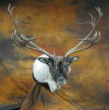 images/north_american_big_game/taxidermy_15.jpg
