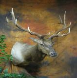 images/north_american_big_game/taxidermy_18.jpg