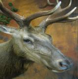 images/north_american_big_game/taxidermy_19.jpg